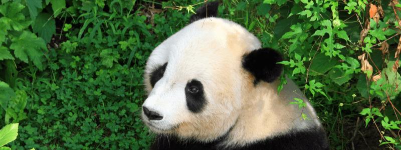 Mało angażujący content to zaproszenie dla Pandy